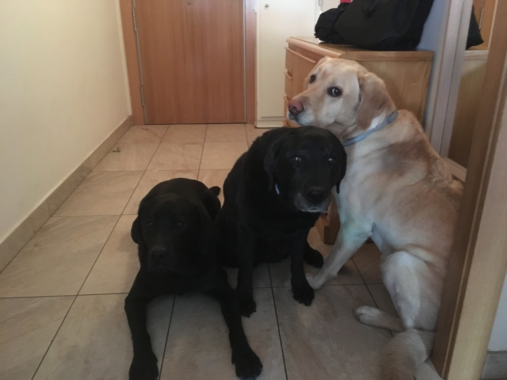 La que fue la Patrulla canina de casa. 3 labradores, Oldo y Bella negros, y Whost rubio.
